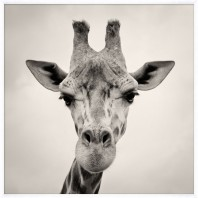 Картина в раме Giraffe, Kate Spade (Америка)